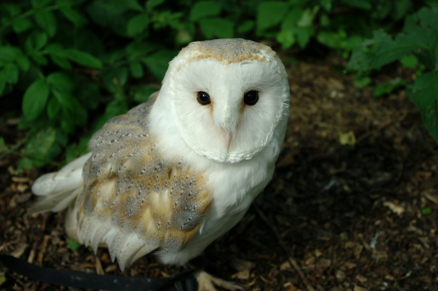 Baby barn owl images - photo#2